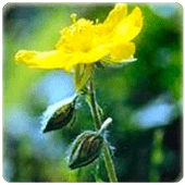 flores_bach_rock-rose