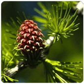 flores_bach_larch